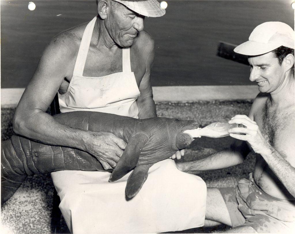 Dos cuidadores dan de comer a una cría de manatí.